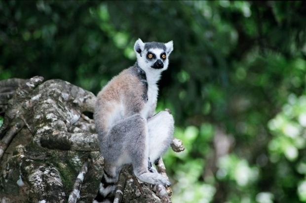 マダガスカル島固有種の、ワオキツネザル。