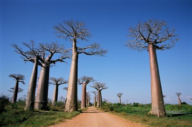 マダガスカルといえば、巨大なバオバブの並木道が印象的。