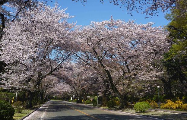 桜並木が美しい、春のICUキャンパス。